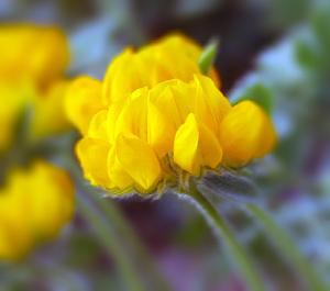 Lutsern e alfalfa